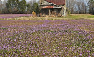 Henbit and Old Homesteads