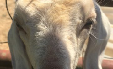 A curious goat gets up close and personal with our camera crew.