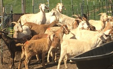 A handful of the 300-some goats who call Wells Farm home.